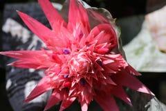 Розовое цветя fasciata bromeliad стоковая фотография
