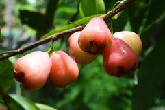 Розовое яблоко на дереве Стоковое Изображение