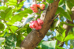 Розовое яблоко на дереве Стоковое Изображение RF