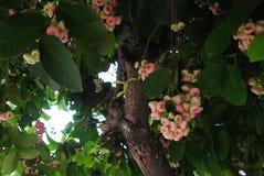 Розовое Яблоко Стоковые Изображения