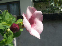 Розовое alamanda цветет alllamanda Стоковая Фотография RF