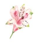 Розовое alstromeria иллюстрация штока