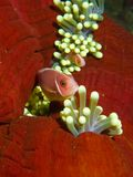 Розовое Anemonefish в Balled-up ветренице Стоковая Фотография