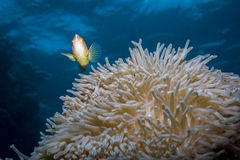 Розовое Anemonefish стоковые изображения rf
