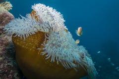 Розовое Anemonefish стоковая фотография rf
