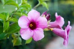 Розовое Bigonia Стоковая Фотография