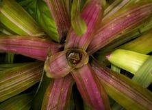 Розовое bromeliad Стоковые Фотографии RF