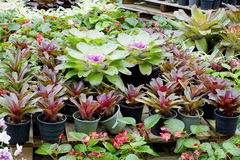 Розовое Bromeliads Стоковое Фото