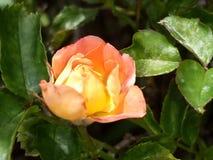 Розовое budd стоковые фото