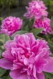 Розовое festiva Paeonia пиона Стоковое фото RF