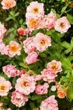 Розовое floribunda Жан Кокто, семг-розовые цветки стоковые изображения