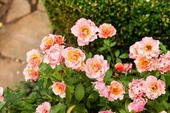 Розовое floribunda Жан Кокто, семг-розовые цветки стоковая фотография