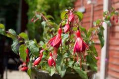 Розовое Fuchsia цветковое растение в Англии стоковое фото