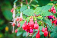 Розовое Fuchsia magellanica цветет на зеленой предпосылке дерева Оно Стоковые Фото