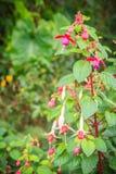 Розовое Fuchsia magellanica цветет на зеленой предпосылке дерева Оно Стоковое Изображение