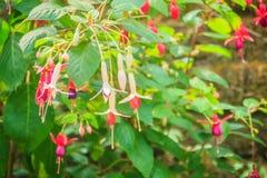 Розовое Fuchsia magellanica цветет на зеленой предпосылке дерева Оно Стоковые Фотографии RF
