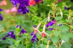 Розовое Fuchsia magellanica цветет на зеленой предпосылке дерева Оно Стоковые Изображения RF