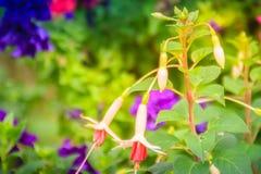 Розовое Fuchsia magellanica цветет на зеленой предпосылке дерева Стоковое фото RF