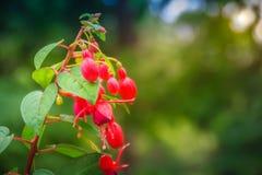 Розовое Fuchsia magellanica цветет на зеленой предпосылке дерева Стоковое Изображение