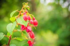 Розовое Fuchsia magellanica цветет на зеленой предпосылке дерева Стоковое Изображение RF