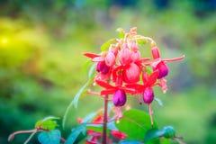 Розовое Fuchsia magellanica цветет на зеленой предпосылке дерева Стоковая Фотография