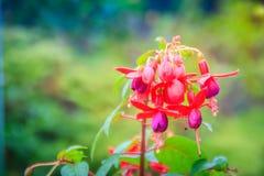 Розовое Fuchsia magellanica цветет на зеленой предпосылке дерева Стоковая Фотография RF