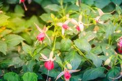 Розовое Fuchsia magellanica цветет на зеленой предпосылке дерева Стоковое Фото