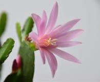 Розовое gaertneri Hatiora, макрос цветка кактуса пасхи Стоковое фото RF