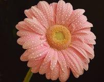 Розовое Gerber стоковые изображения rf