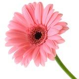 Розовое Gerber Стоковое Изображение