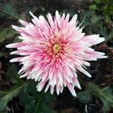 Розовое gerbra Стоковая Фотография RF