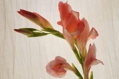 Розовое gladiola Стоковые Изображения