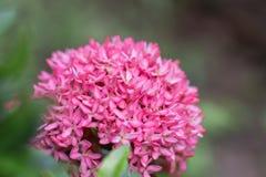 Розовое Ixora в парке Стоковая Фотография