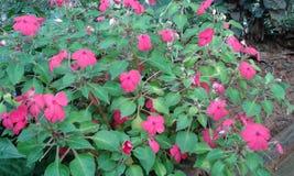 Розовое kudalu Стоковые Фото