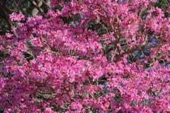 Розовое lapacho стоковые изображения