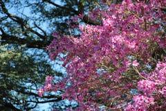 Розовое lapacho Стоковые Фотографии RF