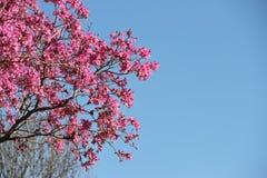 Розовое lapacho Стоковая Фотография