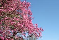 Розовое lapacho стоковое фото rf