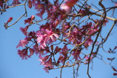 Розовое lapacho Стоковые Изображения RF