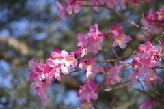 Розовое lapacho стоковое изображение
