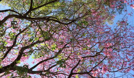 Розовое lapacho Стоковая Фотография RF