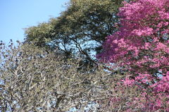 Розовое lapacho стоковое фото