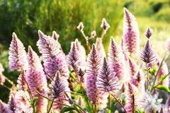 Розовое Mulla Mulla назад-освещенное заходящим солнцем Стоковые Фотографии RF