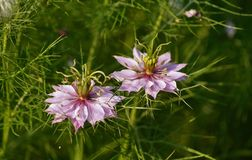 Розовое Nigella Damascena Стоковые Фото