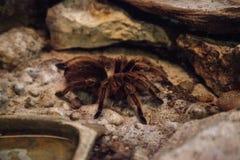 Розовое rosea Grammostola паука тарантула волос стоковые фото