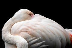 Розовое roseus Phoenicopterus фламинго стоковые изображения rf