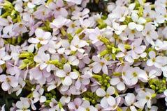 Розовое sicklepod Rosabella Стоковая Фотография RF