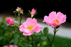 розовое summerwind Стоковые Фото