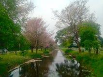 Розовое Tecoma в кампусе Kamphaengsaen университета Kasetsart Стоковое фото RF