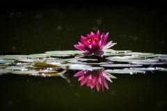 Розовое WaterLily Стоковое Изображение